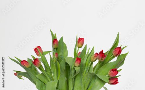 Bukiet kwitnących, czerwonych tulipanów na białym tle - fototapety na wymiar