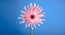 Portrait Of A Pink Gerbera Pasta Flower On A Blue Background