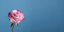 Une Simple Rose Bicolore Rouge Et Rose, Sur Un Fond Bleu Avec Un Espace Vide