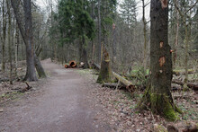 Dirt Road In The Coniferous Forest In The Summer Sawn Trunks