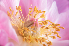 Full Frame Of A Peony With Macro Detail Of Its Heart, With Pistil ,stamen And Pollen