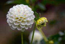 White Pompom Dahlia Flower