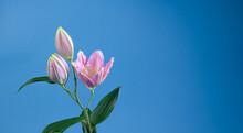 Magnifiques Fleurs De Lys Vendôme Sur Fond Bleu Avec Un Espace Sur La Droite