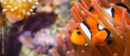 Stampa su Tela Amphiprion Ocellaris clownfish In marine aquarium