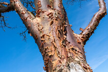 Acer Griseum Tree In Winter With A Blue Sky Which Is Commonly Known As Paperbark Maple, Stock Photo Image