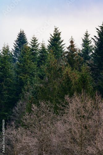 Fotografie, Obraz The majesty of the silent evergreen forest, spruce and pine forest during frost, a natural winter phenomenon