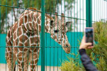 Giraffe At The Zoo, Behind The Cage. Close Up Photography