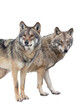 wolf and she-wolf isolated on white background