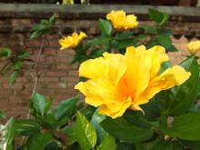 Beautiful Yellow Hibiscus Flowers In The Garden
