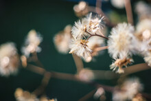 In Late Autumn A Sprig Of Grass With The Remnants Of Dry Fluffy Flowers Sways In The Wind. Dry Autumn Flowers.