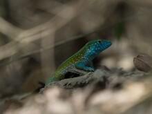 Blue Turquoise Rainbow Whiptail Cnemidophorus Lemniscatus Lizard Reptile Wildlife In Tayrona Colombia South America