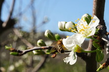 Flowering Of The Apple Tree. Insects Pollinate Flowers.