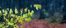 A Branch Of A Tree With Leaves That Begin To Turn Yellow In A Dark Autumn Forest