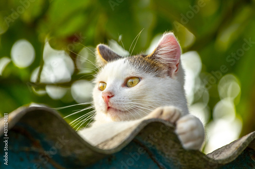 Fototapeta premium White spotted cat pours on the roof of the house