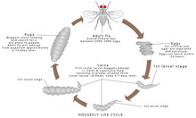 Housefly Life Cycle. Life Circle Of A Housefly. House Fly Life Cycle Time On A White Background.