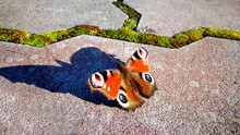 The Bright  Colorful Peacock Eye Butterfly Sitting On The Stone Footpath With Big Shade.  Insect And Flowers.