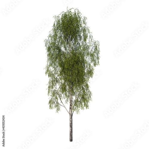 Obraz na plátně Front view tree (Adolescent Silver Birch Betula pendula 1) Plant white backgroun