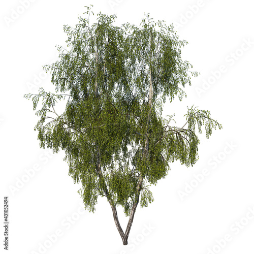 Fotografie, Obraz Front view tree ( Silver Birch Betula pendula 3) Plant white background 3D Rende