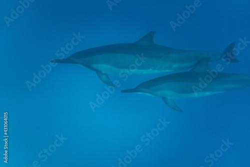 Hawaiian Bottlenose Dolphin Pod Tapéta, Fotótapéta