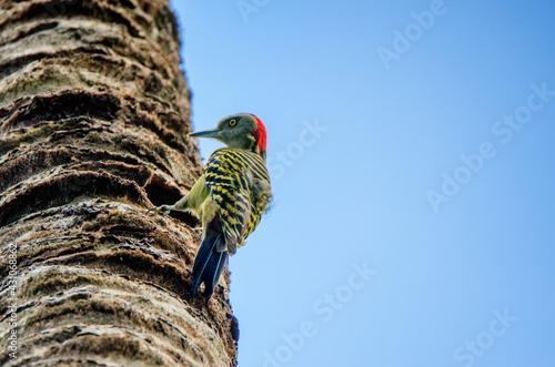 Fotografie, Tablou Hispaniolan Woodpecker or Melanerpes striatus on palm stem close
