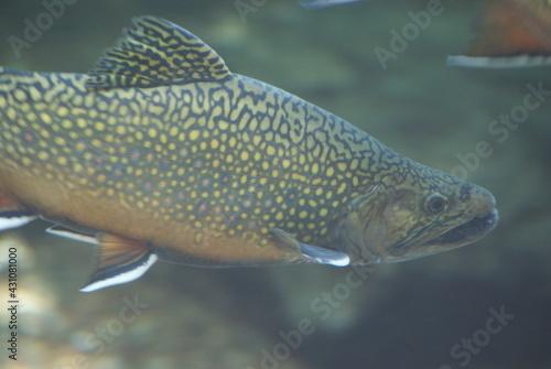 Brook trout Fotobehang