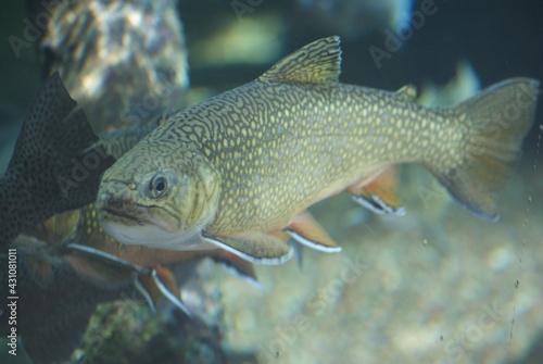 Canvas Brook trout