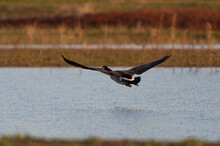 Canada Goose Flying Low Over The Water Of A Lake