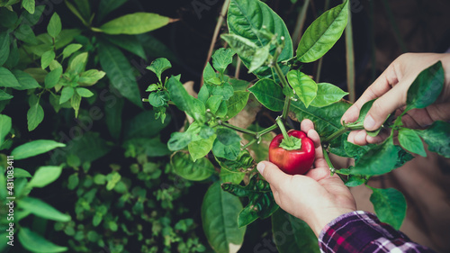 Canvas Woman hand picking ripe small red bell pepper in organic vegetable garden