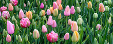Pattern Of Pastel Colored Tulips Growing Closely In A Garden, As A Nature Background
