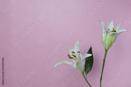 Obraz na plátně Beautiful Pink Stargazer Lily on pink wall.