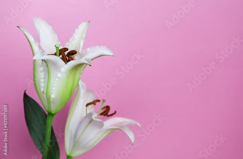 Fotografia Beautiful Pink Stargazer Lily on pink wall.