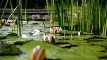Seerosen Und Schilfstiehle Auf Einem See Mit Geöffneter Seerose In Der Mitte