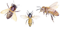Watercolor Illustration With Honey Bees, Set Of Hand Drawn Insects Isolated On White Background. Botanical Illustration