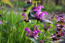 Purple Dead Nettle (Lamium Purpureum) Edible Weed In The Spring Or Summer Garden. Red Deadnettle Flowering Medicinal Plant