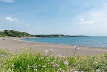 三浦半島(神奈川県三浦市) 和田長浜の風景 浜辺に咲く花(ハマエンドウ)
