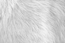 White Gray Background Of Dog Fur With Soft Texture