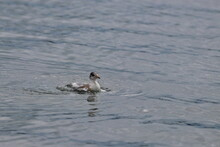 Swimming Tern Chick