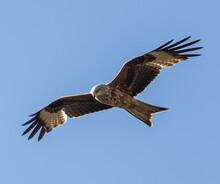 Black Kite Flying Under Blue Sky
