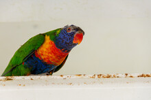 Close-up Of A Brightly Colored Parrot-like Bird On A Rusty Painted Steal Beam In A Protected Environment. The Bird Has A Red Beak And Eyes, Blue Head, Orange Breast, And Green Wings And Tail.