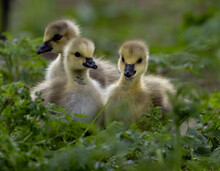 Group Of Ducklings On Green Grass
