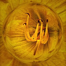 Intricate Gold Coloured Floral Fantasy Pattern From A Closeup View Of A Single Lily Bloom With Glass Globe