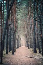 Ścieżka W Sosnowym Lesie W Parku Narodowym