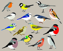 Set Of Bird: Yellow Wagtail, White Wagtail, Great Tit, Robin, Blue Tit, Azure Tit, Brown-headed Chickadee, Nuthatch, Finch, Goldfinch, Sparrow, Bullfinch, Northern Wheatear Vector Isolated Stock