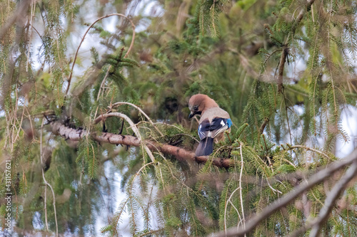 Fototapeta premium A jay sits on the branch of a spruce in the forest