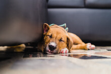 Closeup Shot Of A Sleeping Dog On The Floor Beside A Black Couch