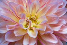 Close Up Of A Blooming Pink Yellow Dahlia Flower. Focus On The Yellow Center Of The Dahlia