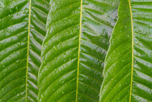 Wide Leaf With Water Droplets On It.