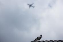 Common Myna Bird On House Roof