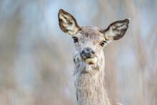 The Red Deer (Cervus Elaphus)