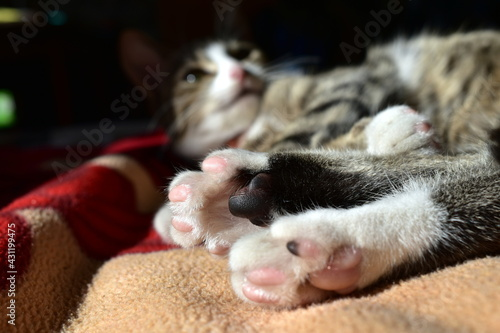 Tablou Canvas the hind legs of a domestic cat